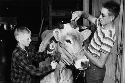 Two boys grooming a cow at the county fair, 1954
