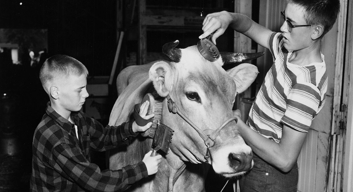 A cow gets a good brushing by two boys
