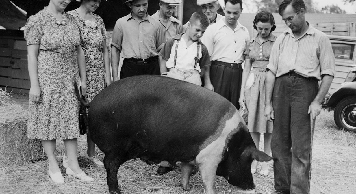 A champion Hampshire sow on display