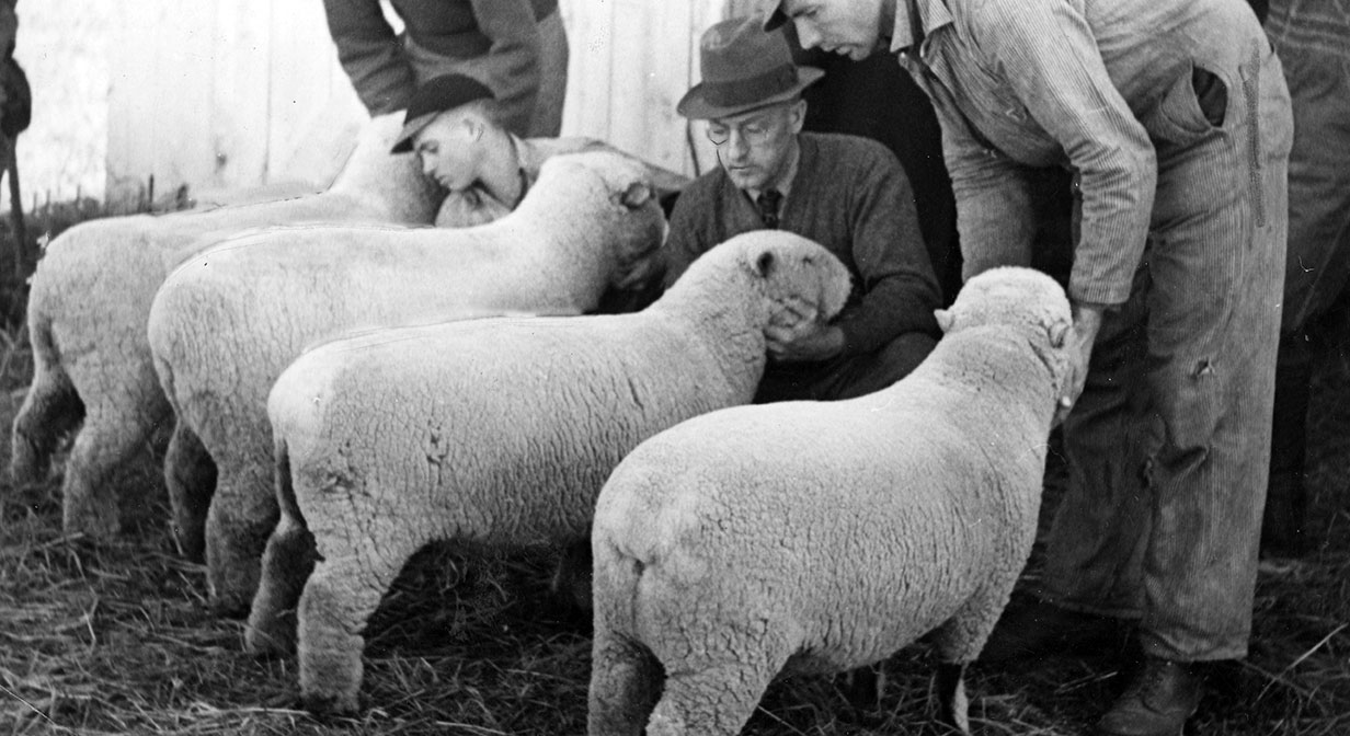 Judges examining sheep at the county fair
