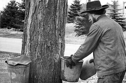 Amish man prepares buckets to collect maple sap in Burton, Ohio in 1965